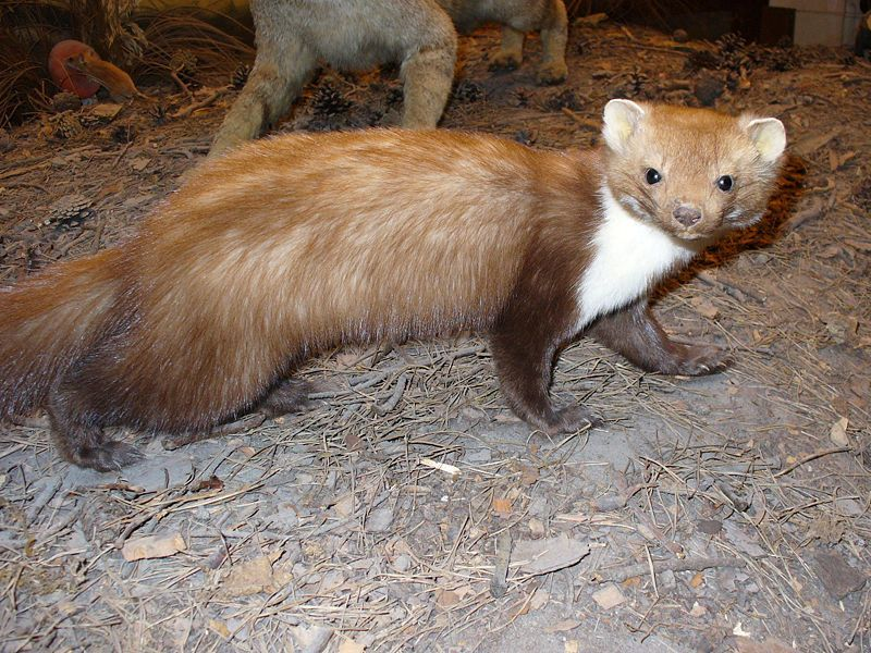 BAB Beech Marten photo by Franco Atirador from Wikimedia Commons