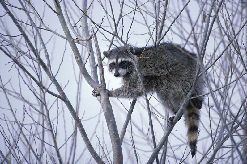 Raccoon climbing in tree